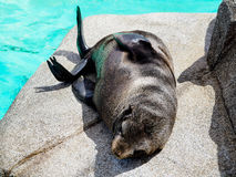Closeup of a Baby sea lion royalty free stock images