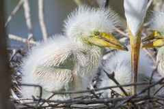 Newborn White Egret Closeup. Closeup of a baby White Egret with fuzz and pin feathers growing stock photography