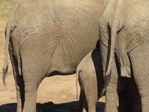 Closeup from back of elephants and their tails. A closeup pic taken from the back of tpw elephants and showing their tails Stock Images