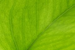 Closeup of back lit leaf. Royalty Free Stock Photo