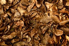 Closeup of a background of dry leaves of walnut tree stock image