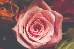 Closeup background of pink, red, white roses. Petals Stock Photos