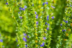 Closeup background of purple blue aromatic abundance of flower bloom of hyssop. Hyssopus officinalis garden herb stock photos