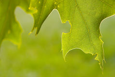 Closeup of backlit oak tree Royalty Free Stock Photos