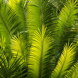 Closeup of backlit palm fronds Royalty Free Stock Photos