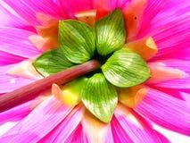 Closeup backside of a dahlia flower Royalty Free Stock Photo