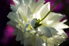 Closeup on white flower royalty free stock photos