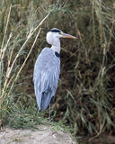 Closeup backview of a Blue Heron with head turned to right standing on ground Royalty Free Stock Photography