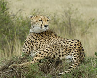 Closeup backview of one adult cheetah resting on top of a grass covered mound with head turned back Stock Photography