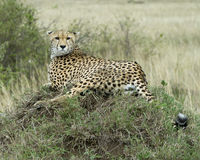 Closeup backview of one adult cheetah resting on top of a grass covered mound with head turned back Royalty Free Stock Photos