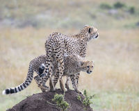 Closeup backview of one adult cheetah standing on top of a dirt mound looking out over the grassland with a sideview of a second Stock Photos