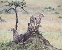 Closeup backview of one adult and two young cheetah on top of a dirt mound Royalty Free Stock Photos
