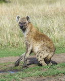 Closeup backview of spotted hyena with muddy feet looking fearfully back toward the camera Royalty Free Stock Images