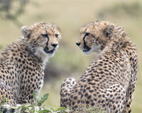 Closeup backview of two cheetah resting on top of a grass covered mound with heads turned toward each other Royalty Free Stock Photos