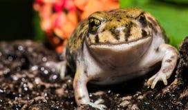 Closeup of Backyard Toad Royalty Free Stock Photography