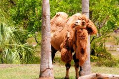 Closeup of bad hair day bactrian camel in zoo Royalty Free Stock Photography