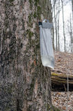 Closeup of bag and taps on maple trees Stock Photo