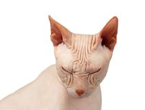 Closeup Bald cat. Cat of breed Sphynx. Naked cat Squinted Isolated Royalty Free Stock Image
