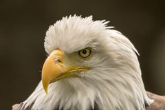 Closeup of a Bald Eagle stock image