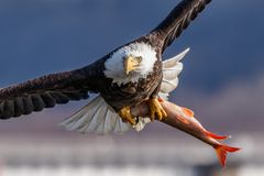 Closeup of Bald Eagle with prey Stock Images