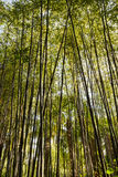 Closeup of a bamboo forest Royalty Free Stock Images