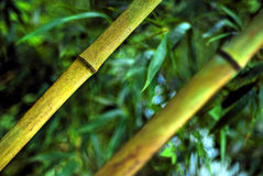 Closeup of bamboo stalks. A closeup of two thin bamboo stalks, with lush green leaves in the background Royalty Free Stock Images