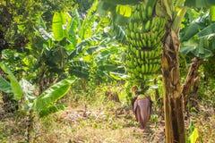 Closeup of banana bunch on the plantation Royalty Free Stock Photo