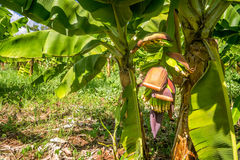 Closeup of banana bunch on the plantation Stock Photography