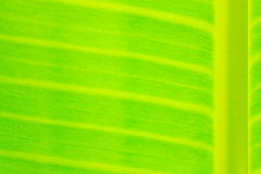 Closeup The banana leaf Royalty Free Stock Photos