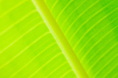 Closeup The banana leaf Stock Images
