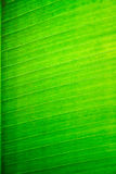 Closeup of banana leaf background. Royalty Free Stock Photo