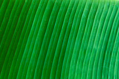 Closeup of banana leaf texture abstract background, fresh green leaf Stock Photos