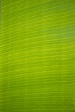 Closeup of banana leaf texture. Background Royalty Free Stock Photography