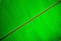 Closeup banana leaf texture for background Stock Images