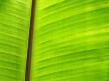 Closeup of banana leaf texture, Royalty Free Stock Photography