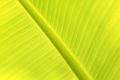 Green fresh banana leaf texture Royalty Free Stock Image