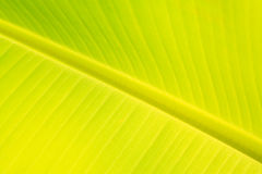 Green fresh banana leaf texture Stock Photo