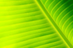 Green fresh banana leaf texture Stock Image