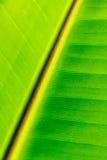 Closeup of banana leaf texture Royalty Free Stock Photography