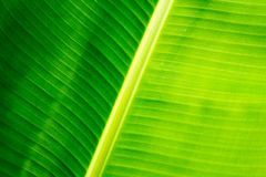 Closeup of banana leaf texture, green and fresh Royalty Free Stock Image