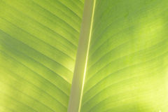 Closeup of banana leaf texture, green and fresh, in a park Royalty Free Stock Photos