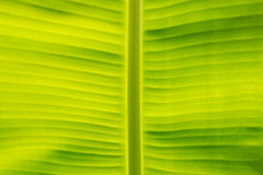 Closeup of banana leaf texture, green and fresh, in a park Stock Photo