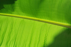 Closeup of banana leaf texture, green and fresh Royalty Free Stock Photography
