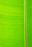 Closeup of banana leaf textured, banana leaf background Royalty Free Stock Images