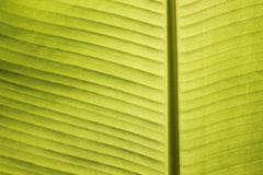 Closeup of banana leaf veins in tropical noon sun Royalty Free Stock Photos