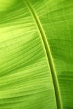 Closeup of banana leaf Royalty Free Stock Images