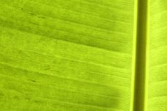 Closeup of banana palm leaf Royalty Free Stock Photo