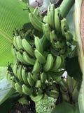 Closeup Of A Banana Plant With Fruit Stock Photo