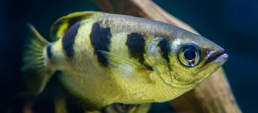 Closeup of a banded archer fish, popular aquarium pet in aquaculture, Exotic specie from the Indo-pacific ocean royalty free stock photos