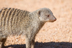 Closeup of banded mongoose Stock Image